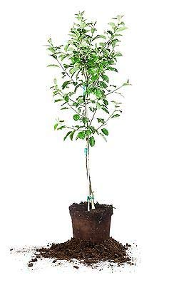 1 Anna Apple Tree, Live Plant, Size: 5-6 ft. by Grey (Image #3)