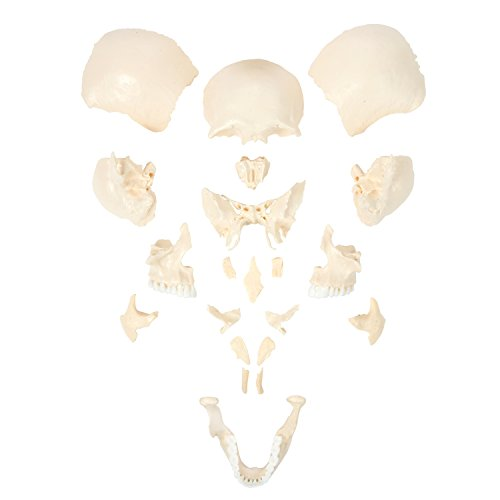 - Axis Scientific Human Skull Model | Molded from a Real Human Skull this Life Size Plastic Skull is Disarticulated into 22 Bones | Does Not Assemble | Includes Detailed Product Manual | 3 Year Warranty