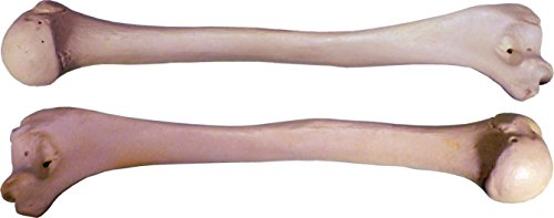 human humerus 2 pieces left and right arm bones replica life size