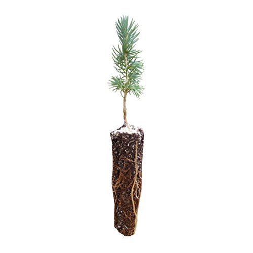 - Engelmann Spruce | Small Tree Seedling | The Jonsteen Company