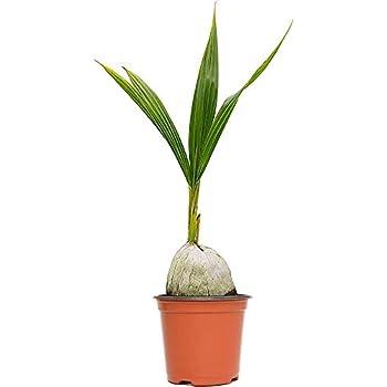 Amazon.com: (Verde) de coco Planta hawaiana palmera Cocos ...