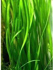 1 bouquet de Vallisnerien gigantea, plante aquatique