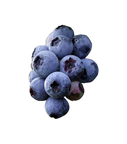 Climax Blueberry Bush - Edible Fruit Berry - Hardy Perennial - 1 Gallon Plant by Growers Solution