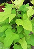 Sweet Caroline Ipomoea Batatas - Lime Green - Morning Glory Sweet Potato Vine