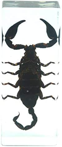 Real Black Scorpion Paperweight Insect Bug Collection Specimen Taxidermy--Large 4.3x1.7x1.1