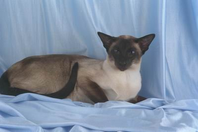12X16 inch Top 100 Pedigree Cat Canvas Art Siamese,seal point - Seal Point Siamese Cats