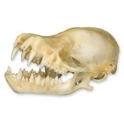 Bat Skull (Natural Bone Quality A)