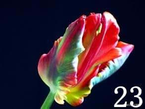 200 semillas de bonsái PC, semillas de planta de tulipán de alto grado, 25 la selección de flores variedad de semilla