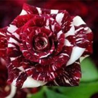 Tiger Stripes Flower - Rosa Seeds Rose - 10 Seeds - Qualityseeds4less Exclusive