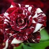 Tiger Stripes Flower - Rosa Seeds Rose - 10 Seeds - Qualityseeds4less Exclusive by Tropical Oasis
