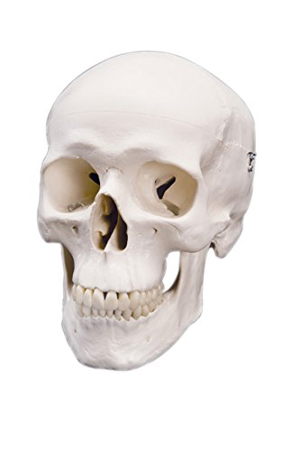 Anatomical Model: Classic Skull, 3-Part - 1 Each / Each - 12-4547