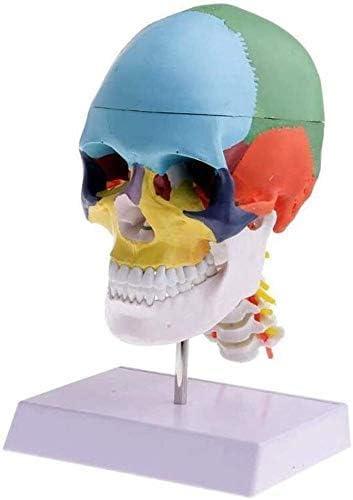 Model Menselijke anatomie Skeletbenodigdheden Onderzoeksinstrument Anatomisch met sculptuur Medisch gekleurd bot cervicaal