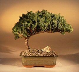 Bonsaiboy Juniper Bonsai Tree - Medium Juniper Procumbens Nana by Bonsai Boy (Image #1)