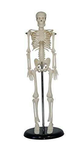Petite Plus Human Skeleton Model on Plastic Base -