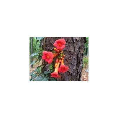 Campsis radicans Trumpet Creeper Orange Flowers! Seeds! : Garden & Outdoor