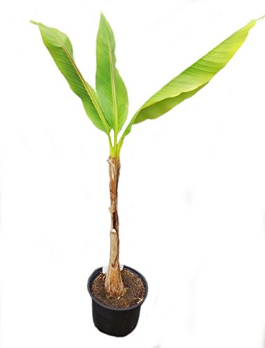 Musa Basjoo Plant in a 17cm Pot. 70-80 cm Tall Banana Palm Perfect Plants