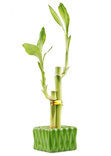 NW Wholesaler - Lucky Bamboo''Love'' Two Stalk Arrangement with Square Accented Pot (Single, Green)