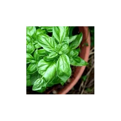 Clovers Garden Sweet Basil Herb Plant- Non GMO- Two (2) Live Plants - Not Seeds -Each 4