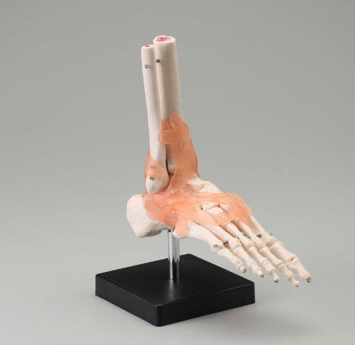 足関節模型   B008KGJY4Y