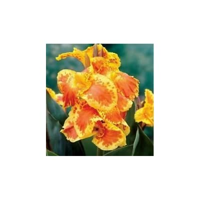 2 Bulbs Tall Yellow Florence Vaughan Canna Lilly Yellow Red Orange Rhizomes: Garden & Outdoor