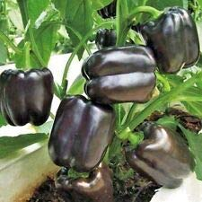 100+Chocolate Beauty Sweet Bell Pepper Seeds Non-GMO Organic Garden/Containers