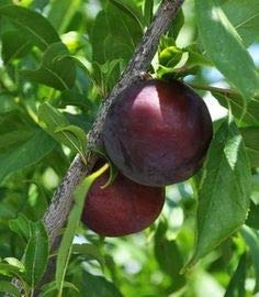 (3 Gallon) METHLEY PLUM Trees, Large to Medium Size Reddish Purple. Sweet Juicy Flesh. Ripen early. Grafted, ()