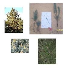 Set of 10 Shortleaf Pine Trees, 8+in, Fast Growing Southern Pine, Ships Bareroot