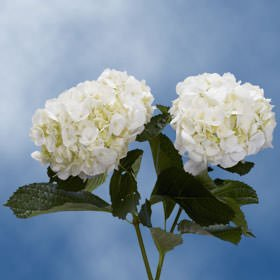 GlobalRose 10 Fresh Cut White Hydrangeas - Fresh Flowers For Weddings or Anniversary. by GlobalRose (Image #6)