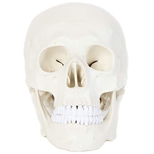 Anatomy Lab Human Skull Model | Life Size Skull Dissects into 3-Pieces | Removable Skull Cap Shows Major Foramen, Fossa, and Canals | Great Tool to Study Skull Bones and Landmarks
