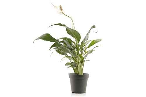 Set of 4 Indoor Plants - Live Potted Plants for Your Home or Office - Includes Red Aglaonema, Snake Plant, Philodendron, and Peace Lily - Great for Interior Decorating and Cleaning the Air by BDWS (Image #4)'