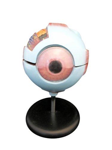 Ajax Scientific Eye Model, 6.3