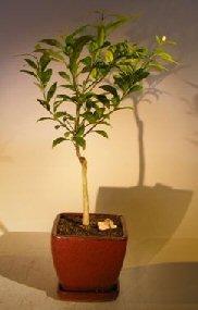 Flowering Tangerine Citrus Bonsai Tree - Seedless (kishu mandarin)