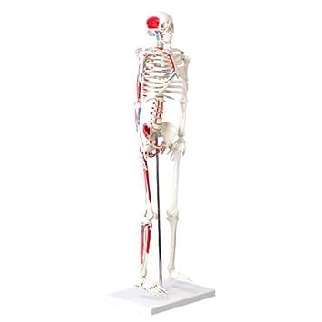 Cranstein A-118 Mini-Skelett Modell mit Muskelbemalung, 85cm ...