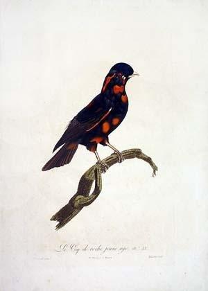 Le Coq de roche jeune age, No. 53 (Rooster)