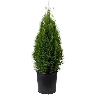 10 Emerald Green Arborvitae 1 to 2 foot tall in 1 gal. pots by Garden Goods Direct