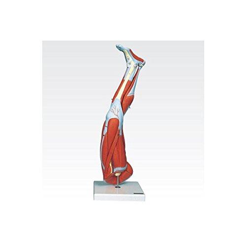 【人気No.1】 新型下肢模型/人体解剖模型 (9分解) B077JMQBTZ J-114-7 (9分解) B077JMQBTZ, 須木村:1f4ce51f --- a0267596.xsph.ru