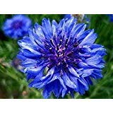 1000 TALL BLUE BACHELOR'S BUTTON /CORNFLOWER Centaurea Cyanus Flower Seeds