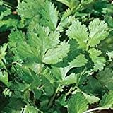 Cilantro Herb 100 Seeds -Coriander - Garden Fresh Pack!