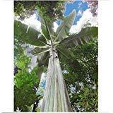 SVI 50 Seeds - Giant Highland Banana - musa ingens - Alethea. Shop