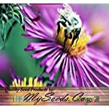 (300) New England Aster Flower Seeds - Symphyotrichum novae-angliae - Comb S&H