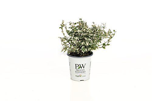 4.5 in. qt. White Album Wintercreeper (Euonymus) Live Shrub
