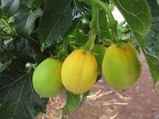 Physic NUT Barbados Purga Jatropha curcas Rare BIO Exotic Diesel Seed 6 Semillas