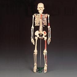 Mr Thrifty Painted Numbered Skeleton Model