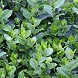 Purple Leaf Wintercreeper Euonymus fortunei 'Coloratus' Groundcover - 200 Bare Root Plants