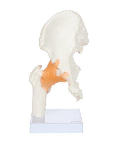 hip joint model - 1