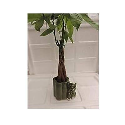 "Live 10""-12"" Brings God Luck Tree Bonsai And Elephant Ceramic Pot Plant indoor: Garden & Outdoor"