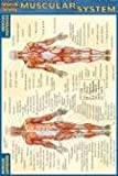 muscle diagram - Muscular System (Quickstudy)