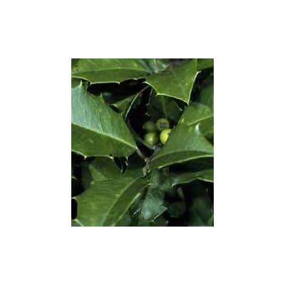 Ilex opaca: American Holly Seeds : Shrub Plants : Garden & Outdoor