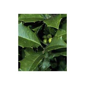 Ilex opaca: American Holly Seeds