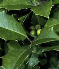 - Ilex opaca: American Holly Seeds